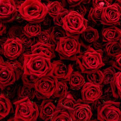 rozy-butony-tsvety-krasnyi